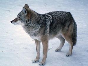 13-april 17-coyote