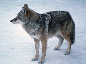 1979 : Governor Milliken Ends Bounty on Coyotes